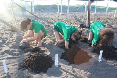 Les œufs de tortues sont déposés dans des trous creusés par les volontaires.