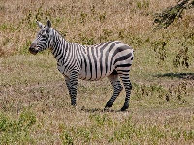 Zèbre dans la savane africaine