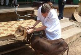 Missions de volontariat et stages au Ghana : Médecine vétérinaire &   soins animaliers