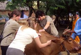 Missions de volontariat et stages au Sri Lanka : Médecine vétérinaire &   soins animaliers