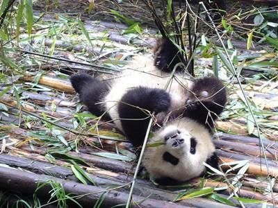 Un panda en Chine