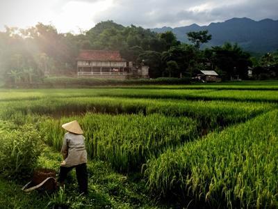 Un local travaille dans une rizière au Vietnam